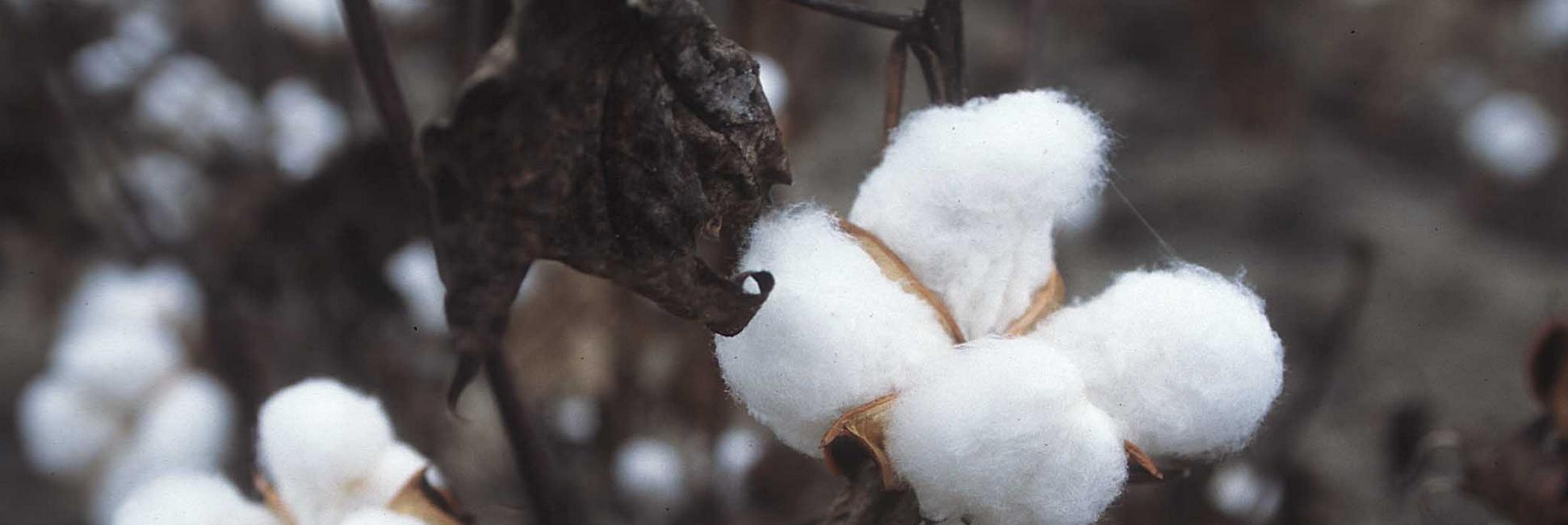 Algodón transgénico en un cultivo de EE.UU.