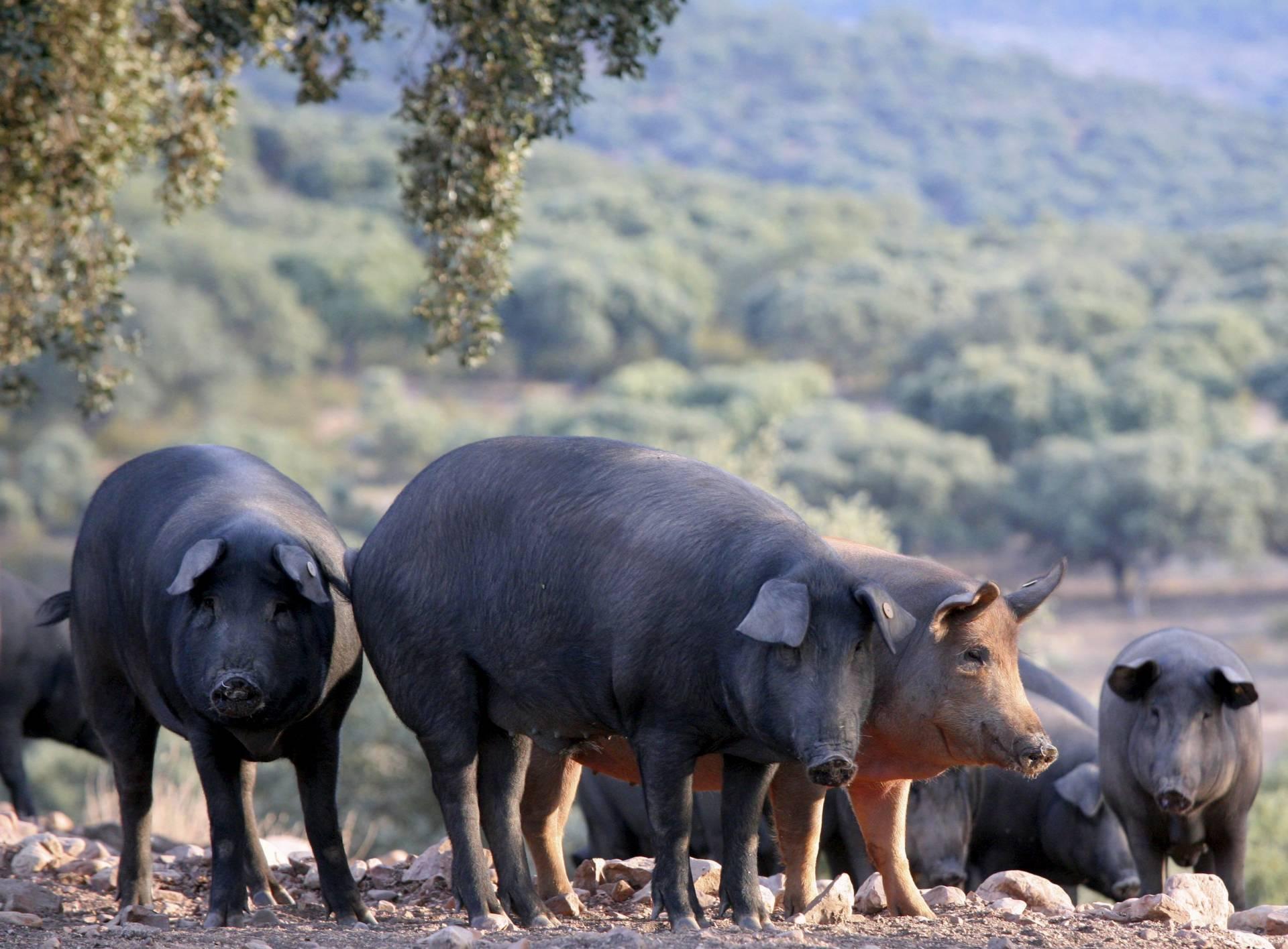 Cerdos ibéricos en Salamanca.