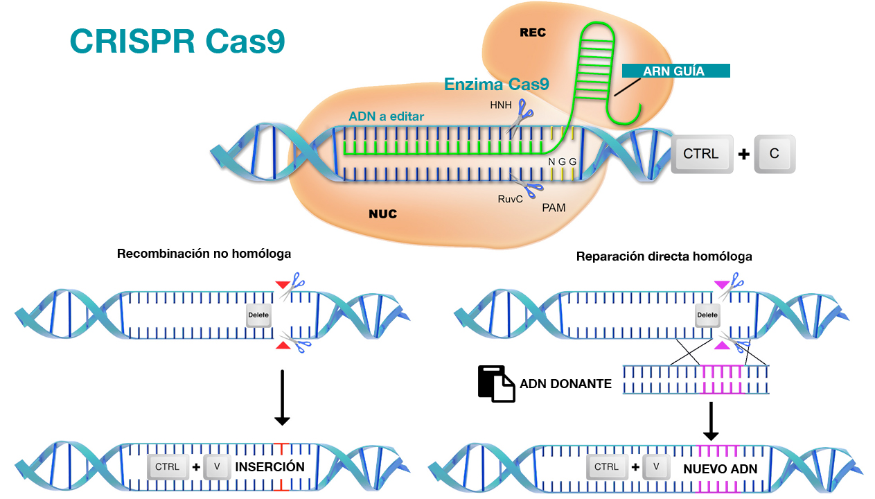 Así se 'editan' las cadenas de ADN mediante CRISPR Cas9