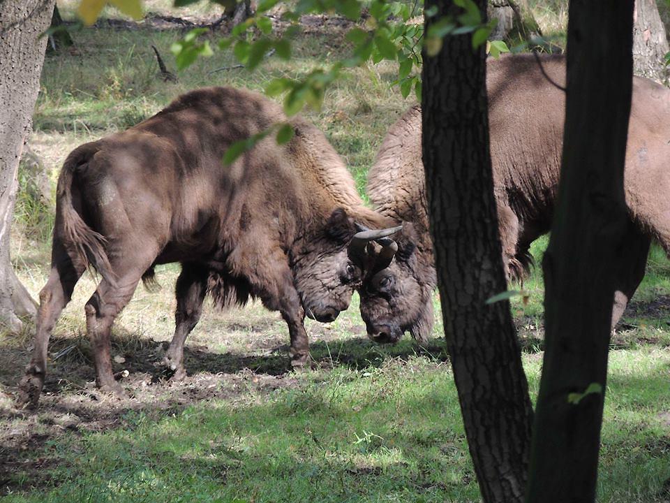 Bisontes en Paleolítico Vivo