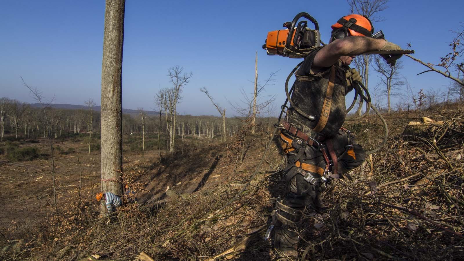 Cada día es más difícil encontrar leñadores especializados en el roble francés. (Foto: Rafael Ordóñez)