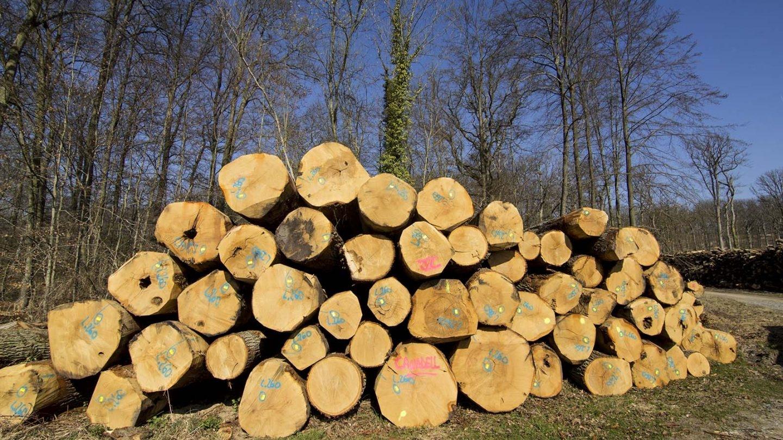 La separación de los anillos del tronco indica el grano del roble, si están muy separados han crecido más rápido y su madera aporta menos expresividad al vino. Lo deseable es que sena de grano fino. (Foto: Rafael Ordóñez)