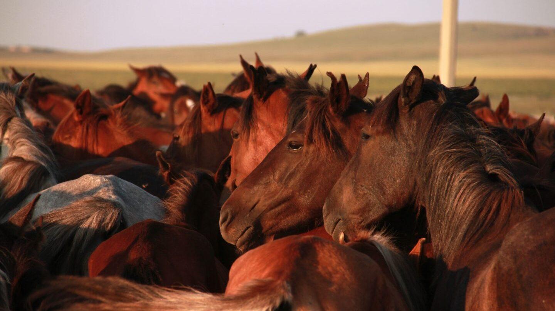 Los caballos domesticados son distintos a los prehistóricos.