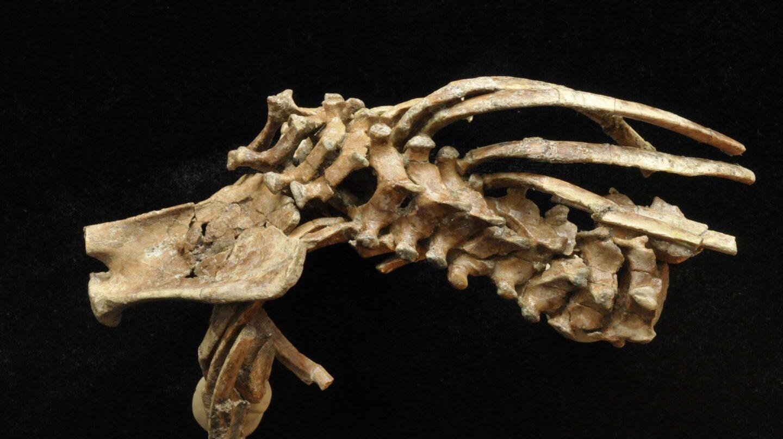 Vértebras, costillas y omóplato de la niña de Dikika.