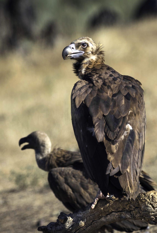 Buitre negro. Parque Nacional de Monfragüe. Javier Sánchez