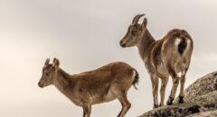 Cabras montesas en La Pedriza del Manzanares. Madrid