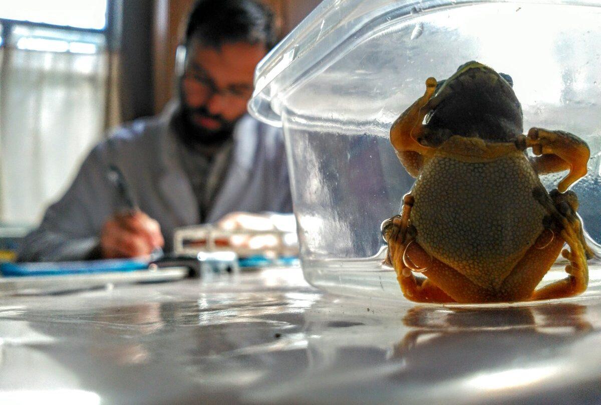 Germán Orizaola analizando las ranas halladas en Chernóbil