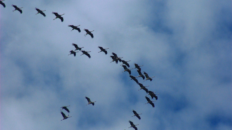 Grullas en plena migración
