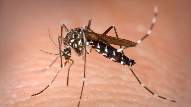 El mosquito tigre se adelanta por las lluvias y el calor