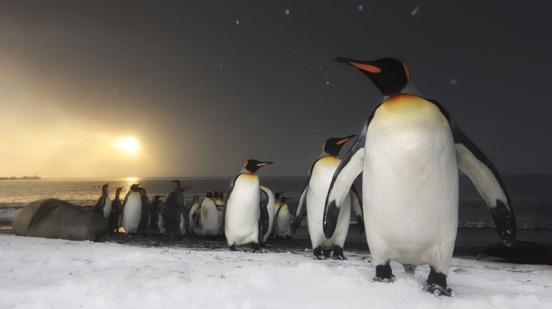 Pingüinos rey, isla del sur de Georgia, océano del Sur.Antártida.