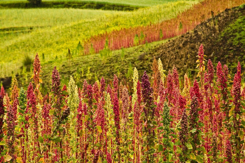 Plantaciones de quinoa en Chimborazo, Ecuador