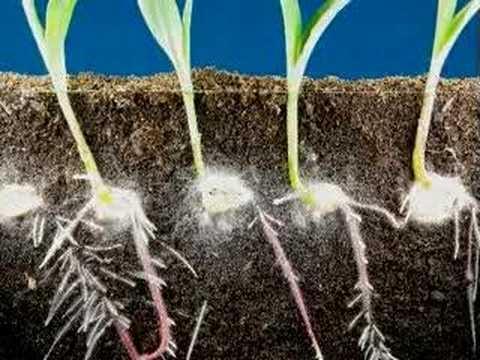 Raíces de maíz van hacia el sonido