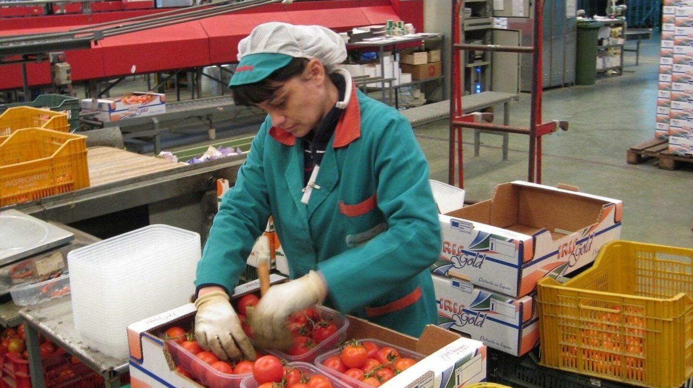 Una trabajadora de la industria auxiliar empaqueta tomates.