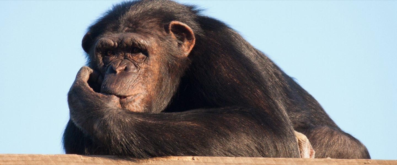 La chimpancé Manuela, en el centro de recuperación Rainfer