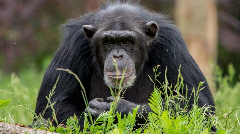 Los chimpancés ya no se utilizan en investigación