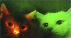 Gatos fluorescentes inmunes al VIH, usados en investigación