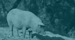 Ahora se permite llamar ibérico a un jamón producto del cruce entre una cerda ibérica y una variedad de EEUU.