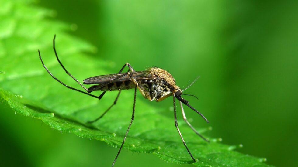 El mosquito tigre lleva unos años en España aunque aún no está confirmado que transmita enfermedades.