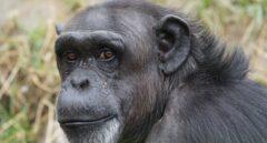 Aparece un simio 'fantasma' del que no hay fósiles, en el ADN de actuales monos