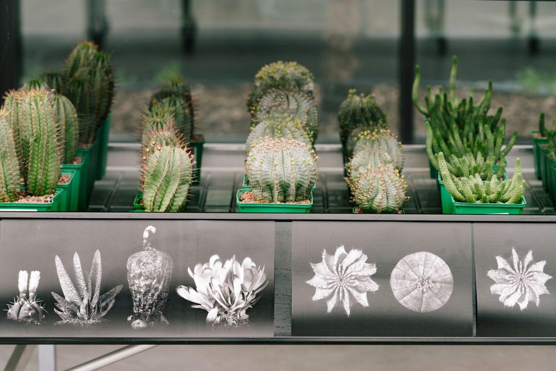 En el vivero hay cactus procedentes de los cinco continentes