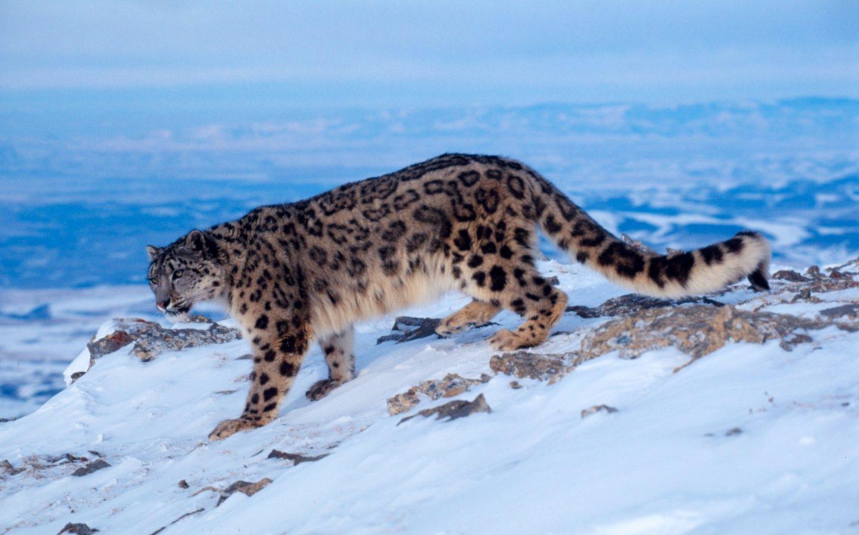 Leopardo de las nieves. K