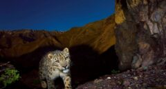 Leopardo de las nieves.