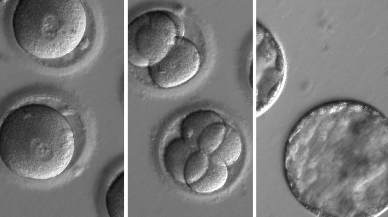 Secuencia en la que se observa el desarrollo de embriones tras la 'inyección' de la enzima correctora.