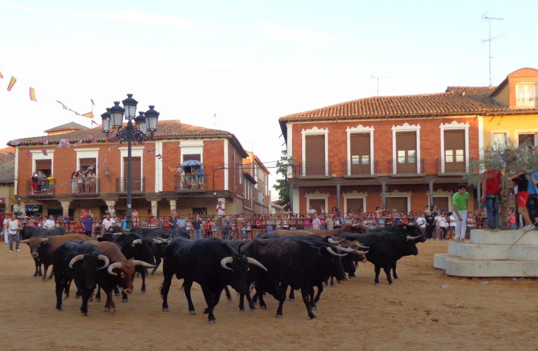 Toros, novillos y vacas durante las fiestas de San Roque, en Villalpando.