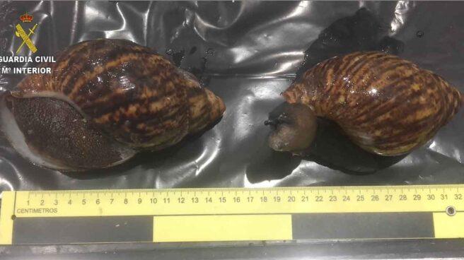 Imagen de los caracoles de hasta 20 centímetros incautados en el aeropuerto de Bilbao.