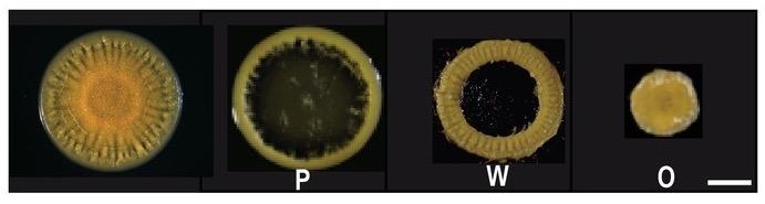 Cuatro grupos de bacterias hermanas especializadas en una misma infección