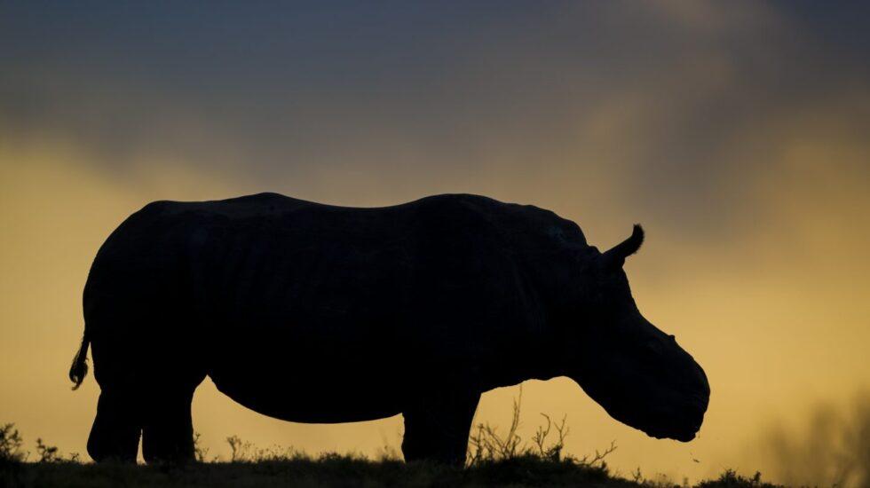 Thandi, la hembra de rinoceronte blanco que perdió el cuerno ante los cazadores furtivos, se ha convertido en un símbolo de supervivencia en la lucha contra la caza furtiva de rinocerontes. © Neil Aldridge