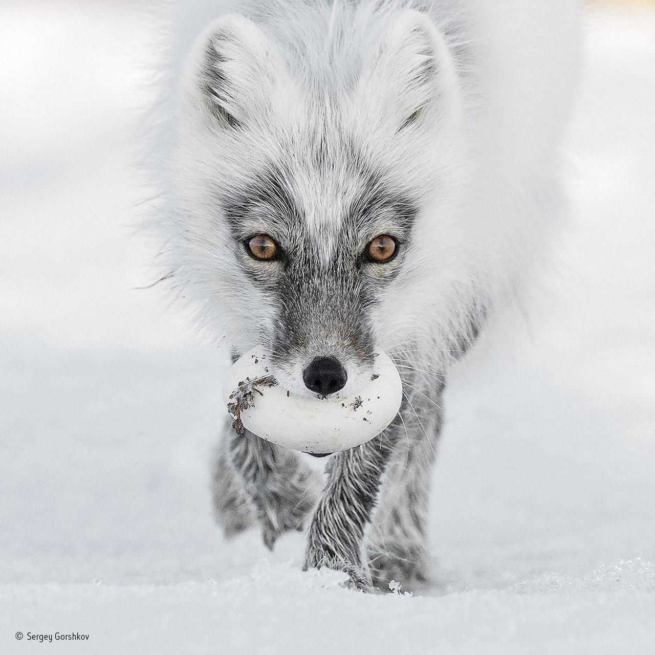 Tesoro ártico. Sergey Gorshkov