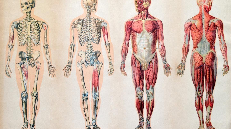 Serías capaz de situar los órganos de tu cuerpo? La mayoría, no
