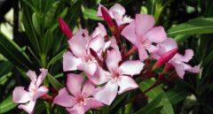 ¿Mataron unas flores a los franceses durante la Guerra de la Independencia?