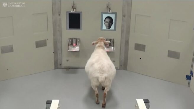 Una oveja reconoce la cara de Obama en experimento