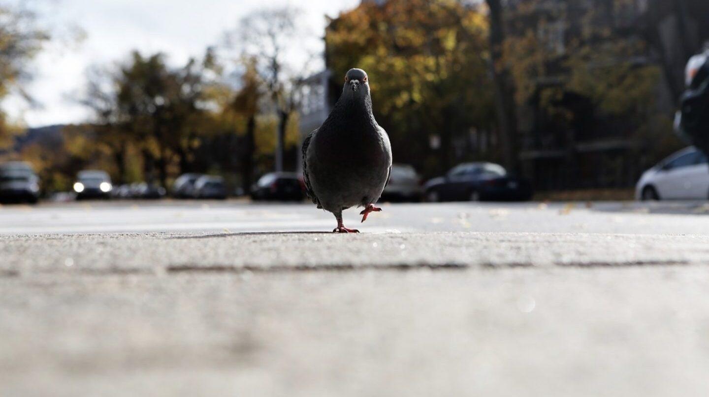 Paloma caminando por una carretera