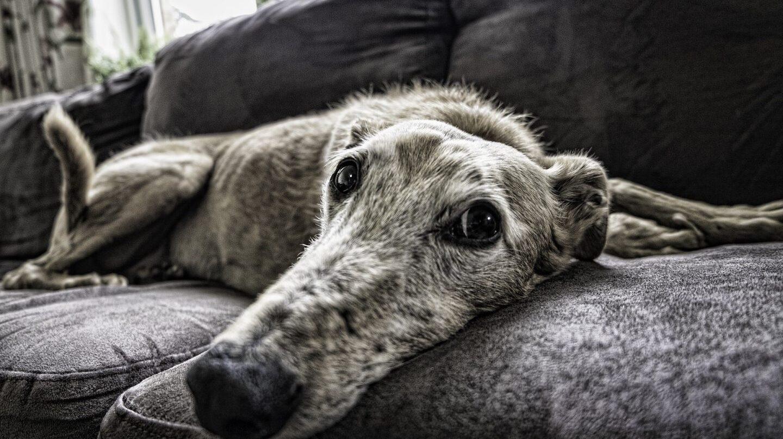 Un perro en el sofá de su casa