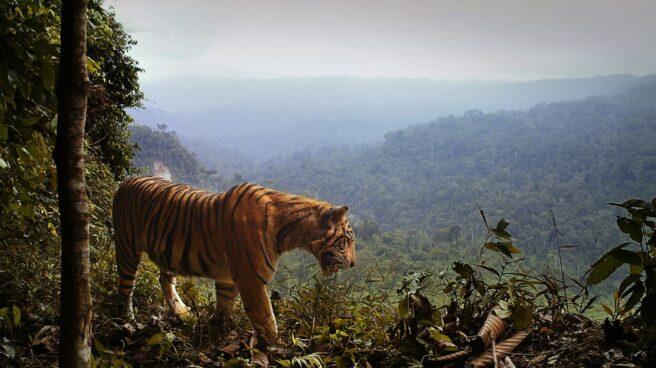 Tigre Sumatra.