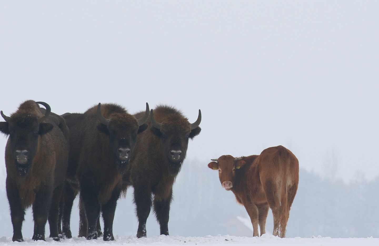 La vaca con los bisontes