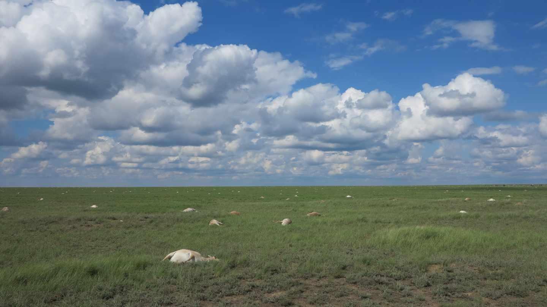 Todos los antílopes murieron en menos de un mes