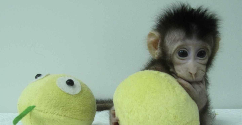 Mono clonado Hua Hua
