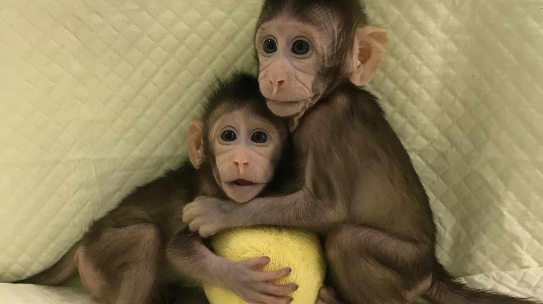 Zhong Zhong y Hua Hua, monos clonados en China