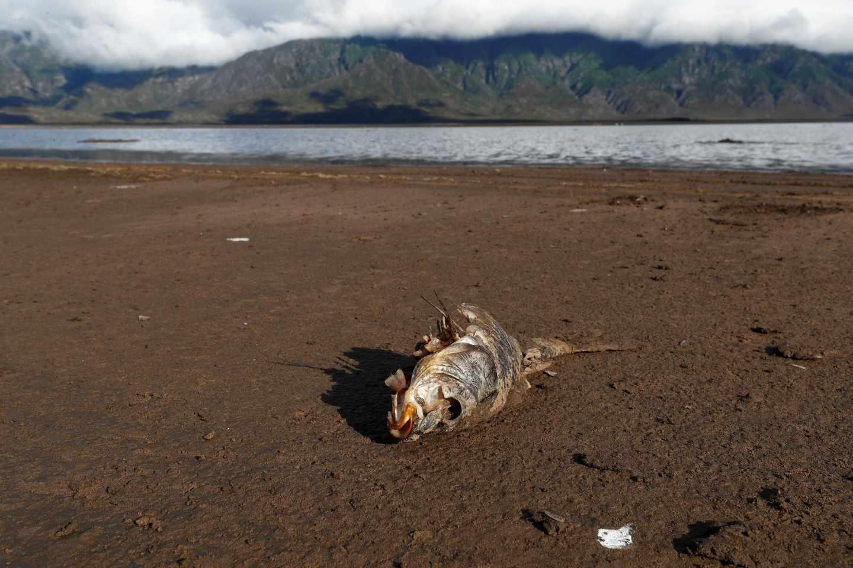 Un pez muerto en una presa cerca de Ciudad del Cabo, donde el suministro de agua está amenazado por la fuerte sequía.