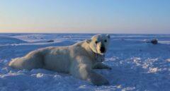 Los osos polares se extinguen, necesitan más alimento