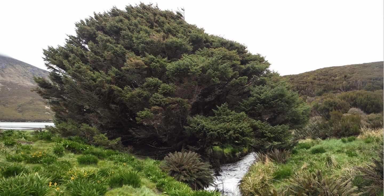 El árbol más solitario del mundo, en la isla de Campbell