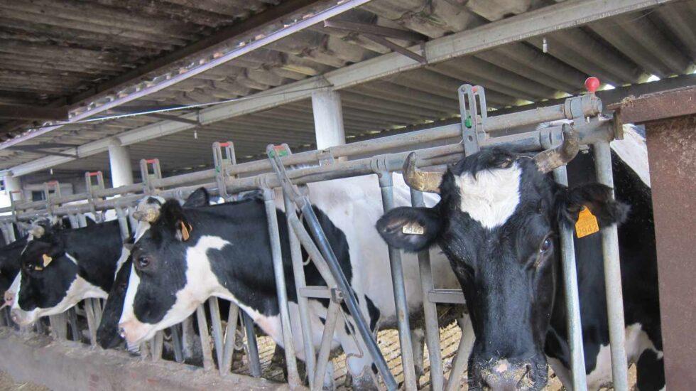 Así se vive en las granjas españolas: luces y sombras de la normativa de bienestar animal.