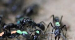 Hormigas matabele