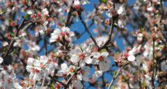 Por qué florecen antes los almendros