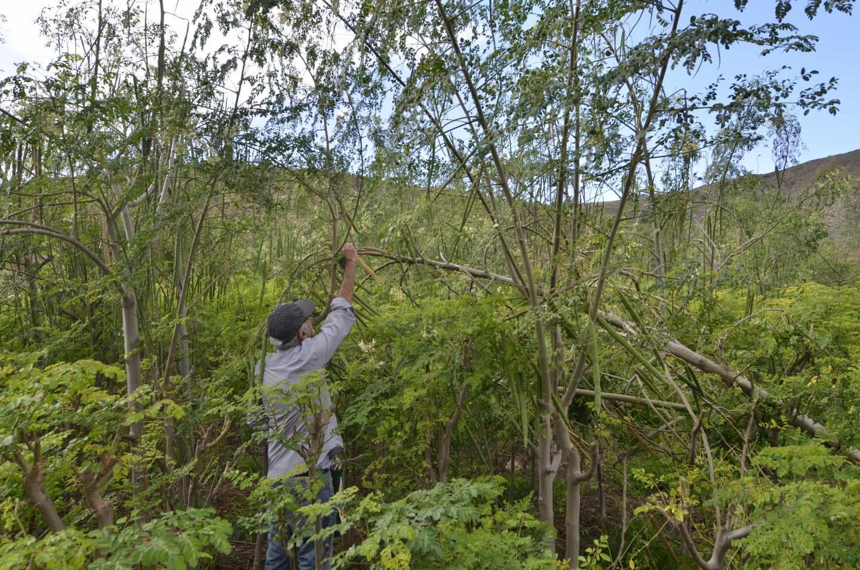 Cultivo de moringa en el sur de Tenerife.