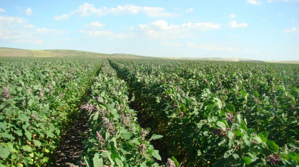 Quinoa cultivada por la empresa andaluza Algosur.